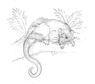 Possumshrew