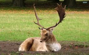 File:Fallow deer -1.jpg