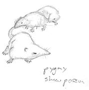 Pygmyshrewpossum