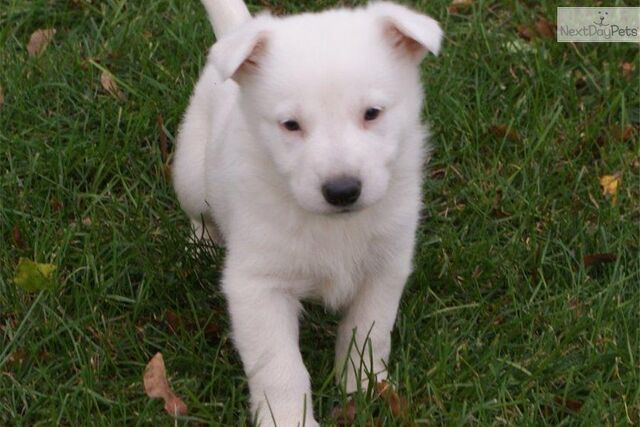 File:German-shepherd-puppy-picture-b397b9c9-ae46-48b1-ba55-dc5239865bc0.jpg