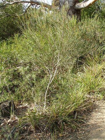 File:Eucalyptus angustissima.jpg
