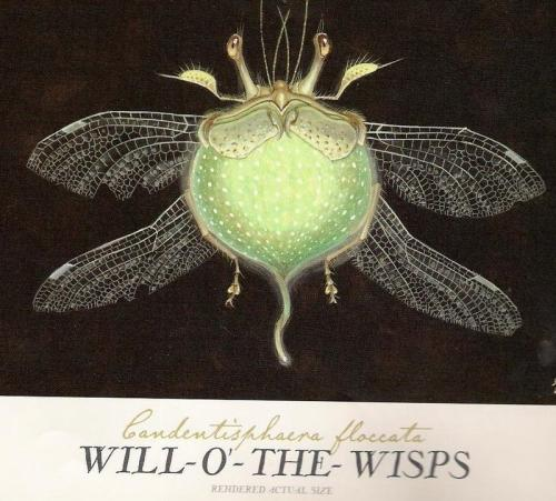 File:Will-o-the-Wisp-female.jpg