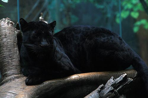 File:Blackwildcat.jpg