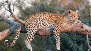 Leopard-04