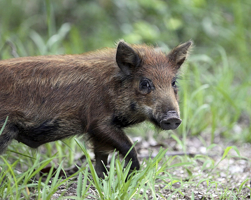 File:Baby Wild Pig.jpg