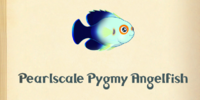 Pearlscale Pygmy Angelfish