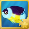 Abe's Pygmy Angelfish§Headericon
