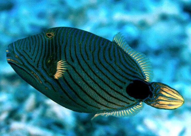 File:Orange-linedTriggerfishReal.jpg