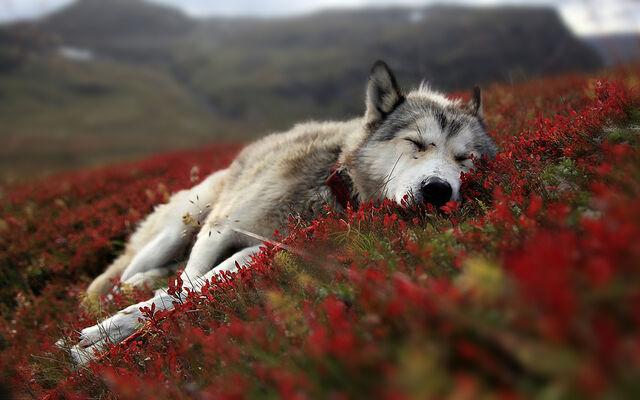 File:Resting-lone-wolf-cute-animal 00149640.jpg