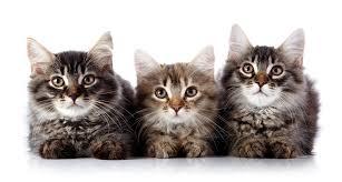 File:Cat army.jpg