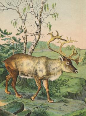 Rangifer