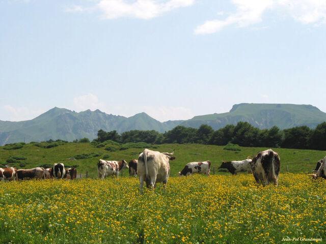 Bestand:Kinderboerderij Cattle - summer fields.jpg