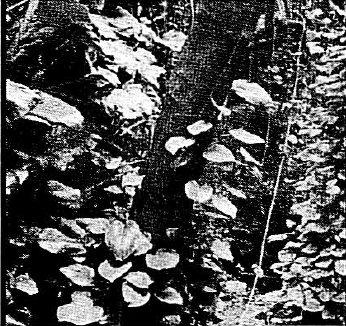 File:Bu'uliev plant.jpg