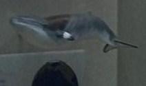File:Minke whale.jpg