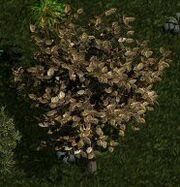 Y'gora tree