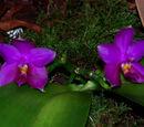 Phalaenopsis George Vasquez