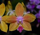 Phalaenopsis Charm Sun Mini Sweetie