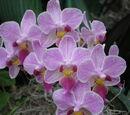 Phalaenopsis Cassandra