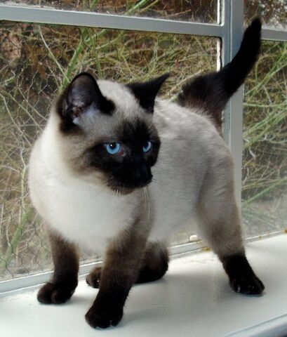 File:Seal Point Siamese 2.JPG
