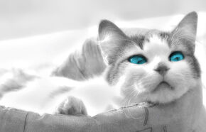 Animal-Picture-Beautiful-Cat-With-Bright-Blue-Eyes-HD-Wallpaper-e1367756690836