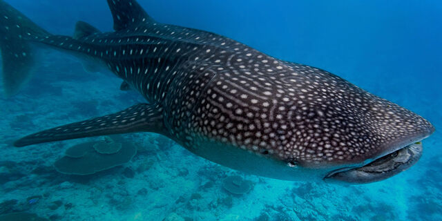 File:Whale-shark-1.jpg
