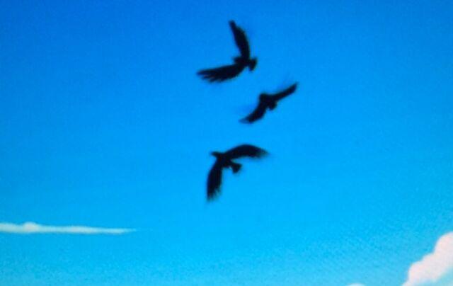 File:Crows flying away.jpg
