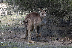 File:Kangaroo.jpg