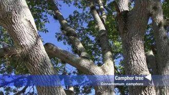 Camphor tree (Cinnamomum camphora)
