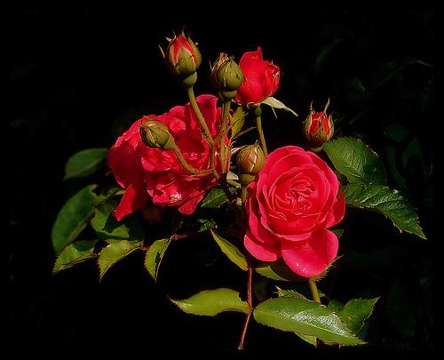 File:Lovely roses.jpg