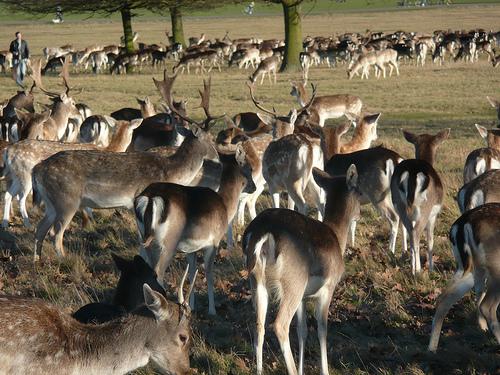 File:Deer In Richmond Park,London.jpg