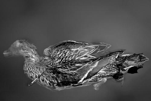 File:Still Life (Dead Duck), Grand Union Canal.jpg