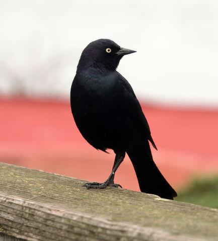 File:Blackbirdeye-3261.jpg