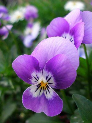 Purple pansy-9685