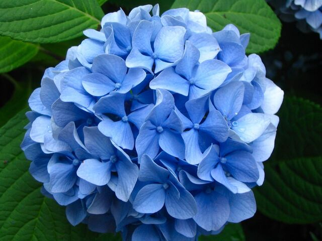 File:Hydrangea+blossom-3899.jpg