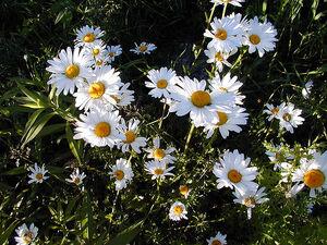 Whitedaisies-4165