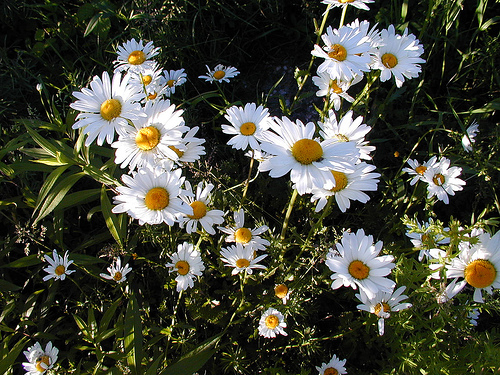 File:Whitedaisies-4165.jpg
