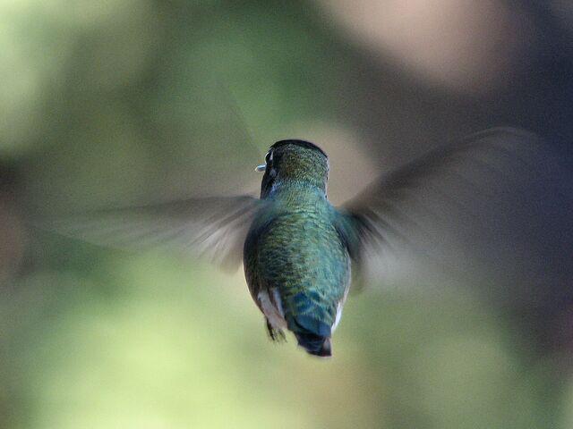 File:Hummingbird rear-view-606.jpg