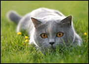Cat-CatGreyLyingInGrassLooking02