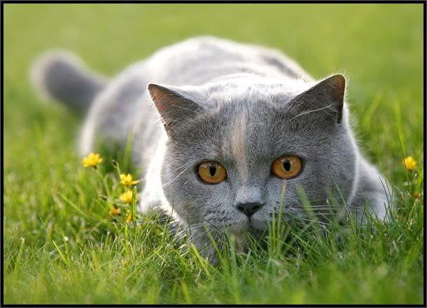 File:Cat-CatGreyLyingInGrassLooking02.jpg