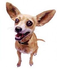 File:Taco Bell Chihuahua.jpg