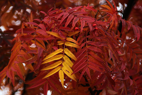 File:2763156-174504-yellow-rowan-leaf-1-.jpg