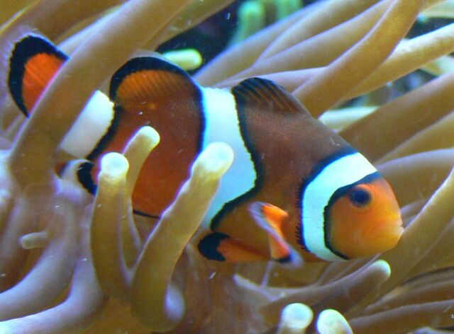 File:OrangeClownfish.jpg
