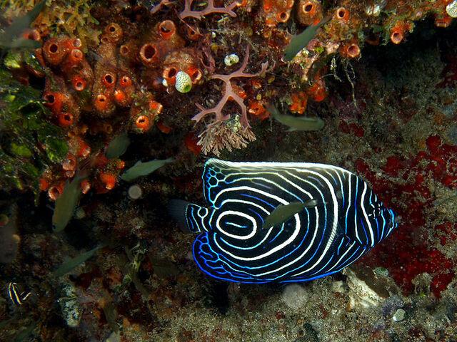 File:800px-Pomacanthus imperator (Emperor angelfish) juvenile.jpg