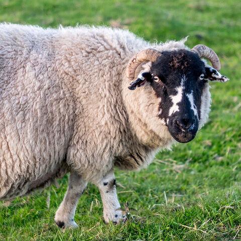File:Looking Sheepish.jpg
