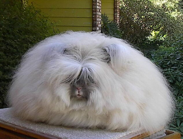 File:Angora rabbit 1.jpg