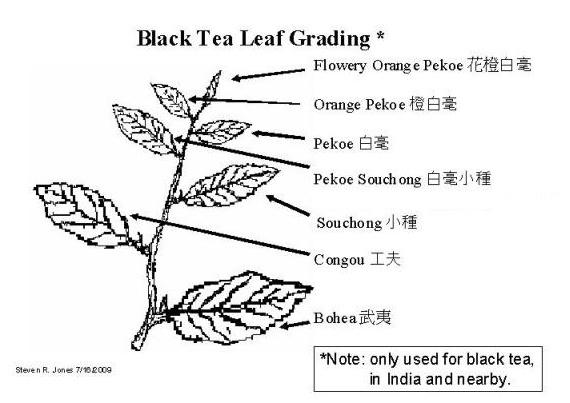 File:Black tea grading.jpg