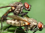Two flies humping