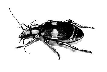 File:Ground Beetle.jpg