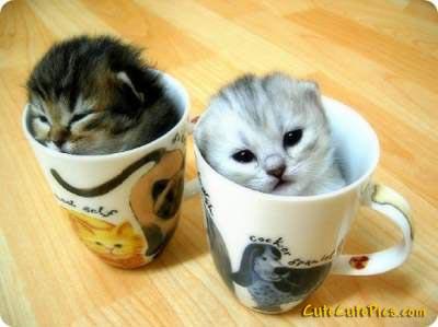 File:Cute-kittens-in-cups-pics.jpg