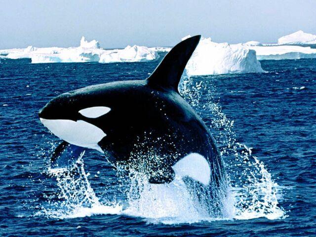 File:Emerging Killer Whale.jpg